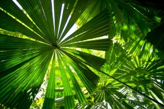 Tropical Fan Palms _4830