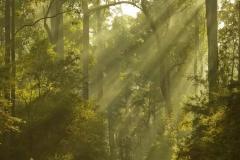 Morning light _ Pemberton Karri Forest_1597
