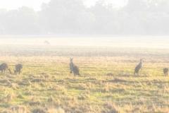 Whiteman Kangaroos in the fog _Panorama