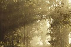 Morning light _ Pemberton Karri Forest