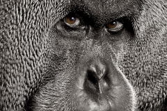 2943 Sumatran Male Orang utan BW eyes warm