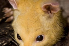 Honey Possum