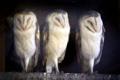 Barn Owls _IGP1253