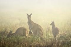 Kangaroos in Fog _IGP2712 E