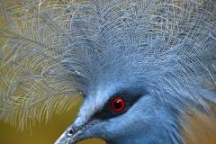 Victoria Crowned Pigeon _IGP2740_1