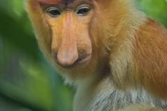 Proboscus Monkey _IGP2781