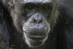 Chimpanzee _IGP3226
