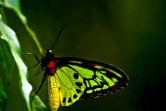 Birdwing Butterfly _IGP3584