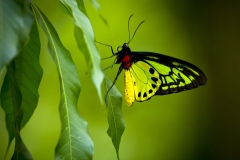 Birdwing Butterfly _IGP3601