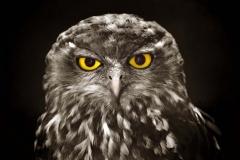 Barking Owl _IGP4257 S