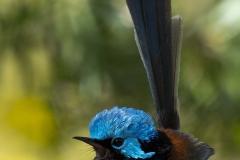 Blue Wren_IGP8246