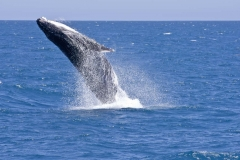 Whale breaching_IGP9316