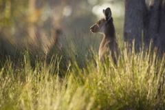 Kangaroo feeding_IMG0293