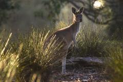 Kangaroo Feeding _IMG0297
