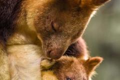 Tree Kangaroo with baby_IMG0787