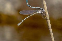 Damsel Flies, mating_IMG1225 copy
