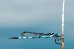 Blue Damsel Fly _IMG1227 copy
