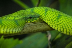 Green Viper _IMG3294
