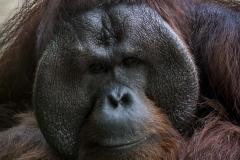 Mature Male Orangutan_IMG4121