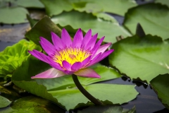 Pink Waterlilly_IMG4398