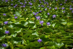 Water Lillies_IMG4409