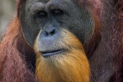 Male Orangutan _IMG5351
