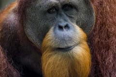 Male Orangutan _IMG5357