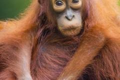 Orangutan baby_IMG6316 copy