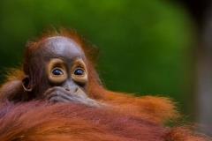 Baby Orangutan_IMG6355