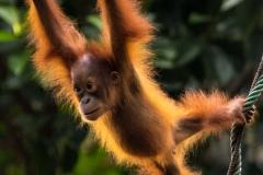 Backlit Orangutan _IMG6366