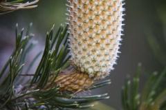 Banksia Ericafolia _IMG9010