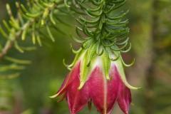Darwinia Meeboldii - Cranbrook Bell _IMG9030
