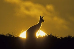 Kangaroo Sunset 4