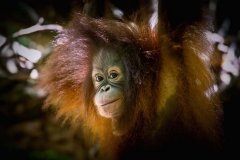 Orangutans - KK & Singapore 08