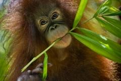 Orangutans - KK & Singapore 11