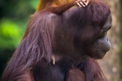 Orangutans - KK & Singapore 21