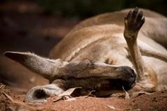 Sleeping Roo
