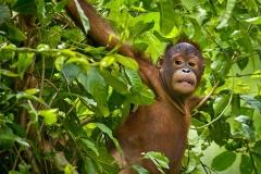Young Orangutan - Borneo