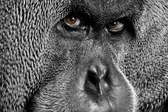 Orangutans - KK & Singapore 38